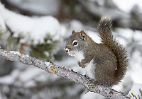 This red squirrel was foraging for pine cones right near the road during our foray into the park interior in January.