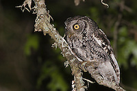 Eastern Screech-Owl, Megascops asio, adult at night in Texas Oak (Quercus buckleyi)Uvalde County, Hill Country, Texas, USA
