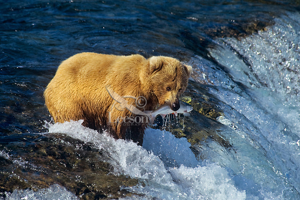 Coastal grizzly or alaskan brown bear (Ursos arctos) catching sockeye salmon, Brooks Falls, Katmai National Park, Alaska.  Summer.