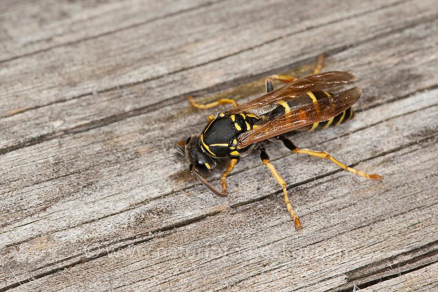 Heide-Feldwespe, Heidefeldwespe, Feldwespe sammelt Holz für den Nestbau, Polistes nimpha, Polistes opinabilis, polistine wasp, paper wasp, Faltenwespe