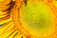 Sunflower close-up.