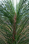 The young long leaf pine grows very fast.