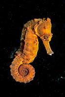 Longsnout seahorse, Hippocampus reidi, Ecuador, South america, Galápagos