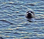A sea lion pokes his head out of San Francisco Bay.