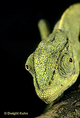 CH29-009z  African Chameleon - eyes rotate completely and independently of each other - Chameleo senegalensis