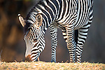 Crawshay's Zebra (Equus quagga crawshayi) -subspecies of Plains Zebra. On the banks of the Luangwa River. South Luangwa National Park, Zambia.