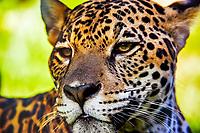 jaguar, Panthera onca, Espirito Santo, Brazil