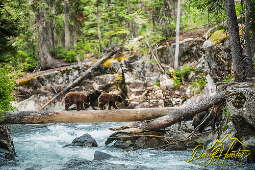 Black Bear, cinnimon, Grand Teton National Park, Wyoming, Jackson Hole