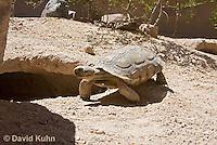 0609-1037  Desert Tortoise Near Entrance to its Burrow (Mojave Desert), Gopherus agassizii  © David Kuhn/Dwight Kuhn Photography