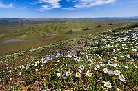Mountain aven wildflowers and geological formations along Archimedes ridge, Utukok Uplands, National Petroleum Reserve Alaska, Arctic, Alaska.