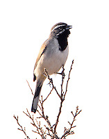 Black-throated sparrow singing