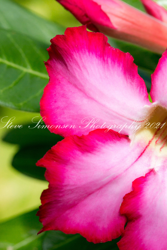Desert Rose<br /> Virgin Islands