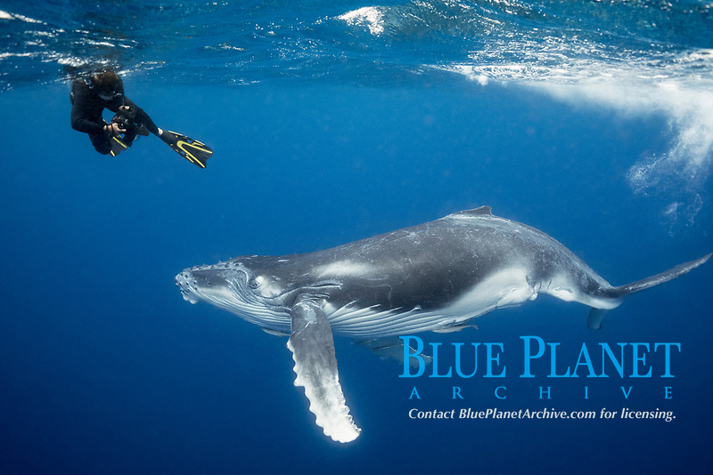 photographer Jodi Frediani and humpback whale calf, Megaptera novaeangliae, Vava'u, Kingdom of Tonga, South Pacific Ocean
