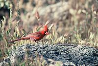 Cardinal seen on the desert floor in southern Arizona