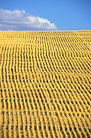 field of freshly cut wheat California