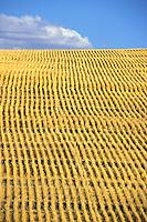field of freshly cut wheat California