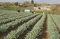Picking daffodils (Narcissus pseudonarcissus), Cornwall.