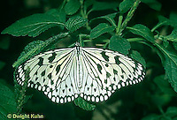 LE45-007a  Butterfly - Paper Kite from SE Asia - Idea leuconoe