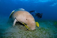 Dugong, Sea Cow, feeding on the shallow sea grass field, Gnathanodon Speciosus, Egypt, Red Sea, Indian Ocean
