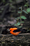 Scarlet tanager Piranga olivacea with insect prey migratory song bird