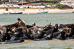 Gray Seals hauled out on the Chatham Bars, Cape Cod.  Medium shot view of colony hauled out on sand bar.  Seal to right of frame is howling, a typical behavior showing contentment by this species of true seal.  Chatham, Massachusetts is in the background.
