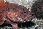 Gulf Toadfish close-up