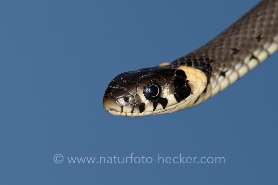 Ringelnatter, Portrait, Porträt, Ringel-Natter, Natter, Natrix natrix, Grass Snake, Couleuvre á collier