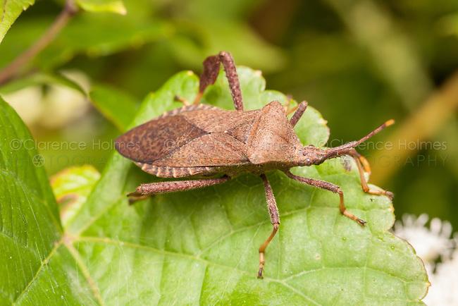 Leaffooted Bug (Acanthocephala terminalis)
