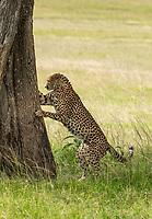A Cheetah, Acinonyx jubatus jubatus, sniffs a tree trunk after marking its territory in Maasai Mara National Reserve, Kenya