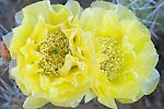 Prickly Pear Cactus Flower (Opuntia phaeacantha), Arches NP, Utah, USA