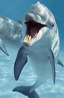common bottlenose dolphin, Tursiops truncatus , Honduras (c)