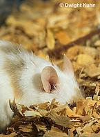 MU60-073z  Pet mouse - exploring