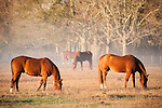 Brazoria County, Damon, Texas; four horses eating grass in a foggy pasture with early morning sunlight