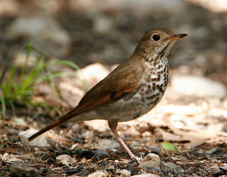 Adult hermit thrush