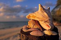 Iles Bahamas /Ile d'Andros/South Andros: Eco-Lodge-Tiamo-Resort sur la plage coquille de Conque et coquillages