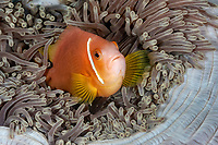 pink anemonefish, Amphiprion perideraion, in its host magnificent sea anemone, Heteractis magnifica, Maldives, Indian Ocean