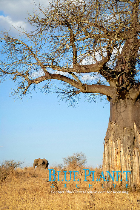 African Baobab (Adansonia digitata) and African Elephant (Loxodonta africana) in the savannah, Tarangire National Park, Tanzania, Africa