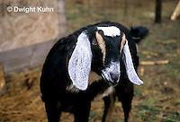 SH05-014z  Goat - Nubian