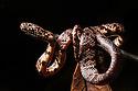 Cloudy Snail-eater / Clouded Snake {Sibon nebulatus} Osa Peninsula, Costa Rica. May.