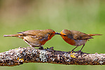 Pictured:  Sequence 2 of 9:  The male robin (right) passes the insect over to the female.<br /> <br /> A courting ritual between two robins is cut short - after the female drops an insect the male was trying to feed her.  The female stands ready to receive the fly in her open beak but after it is dropped both glance disappointedly at the floor, and the male flies down in an attempt to retrieve it.<br /> <br /> This exchange of food is an integral part of the courtship between robins and was captured by professional photographer Ivor Ottley in Suffolk.  SEE OUR COPY FOR DETAILS.<br /> <br /> Please byline: Ivor Ottley/Solent News<br /> <br /> © Ivor Ottley/Solent News & Photo Agency<br /> UK +44 (0) 2380 458800