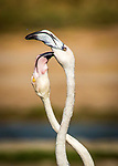 Flamingoes having a fight by Amardeep Singh