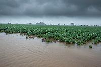 Waterlogged cauliflower follwing heavy rain - Lincolnshire, June