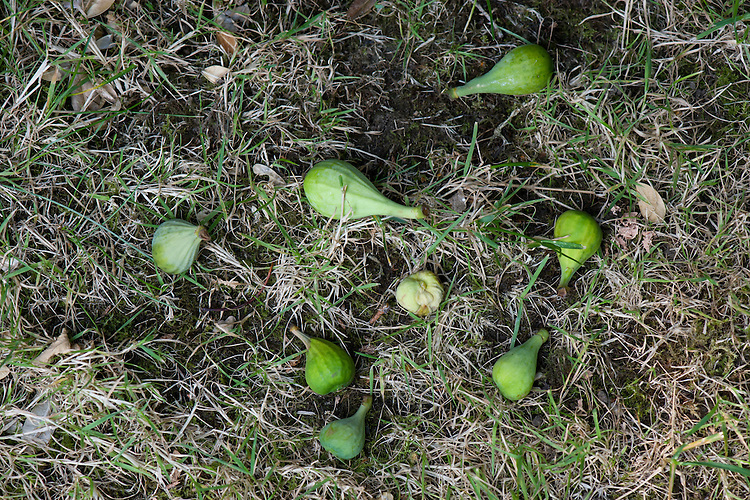 Figs that won't ripen before winter usually drop from the tree during autumn. This is a natural shedding process and not an indication that the tree is in poor health.