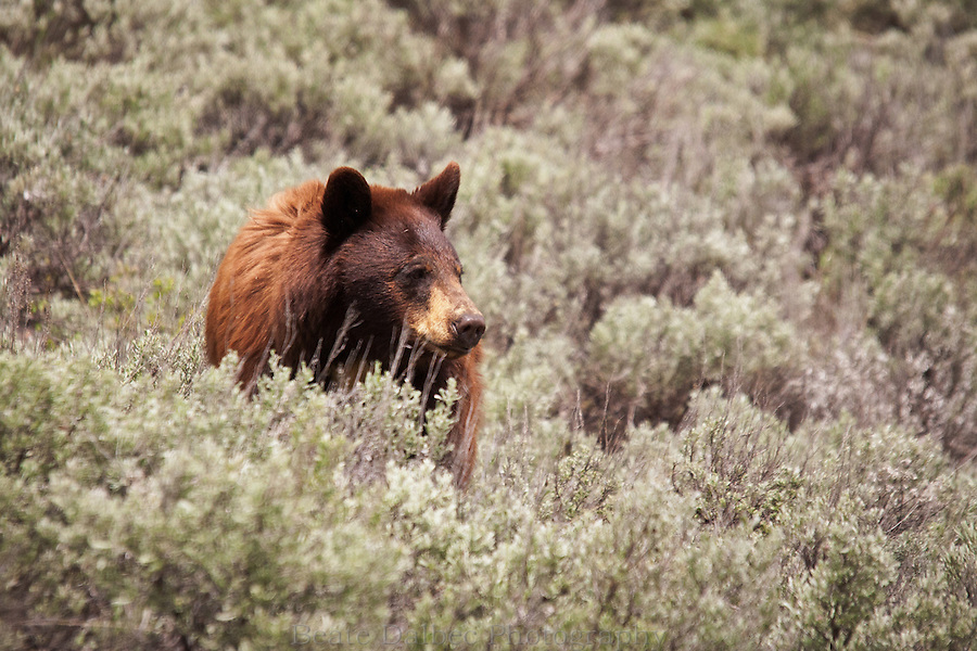 Black bear in the Lamar valley of Yellowstone National Park