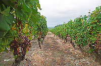 Semillon grapes with noble rot on vines in converging perspective on sandy and gravely soil.  at harvest time  Chateau d'Yquem, Sauternes, Bordeaux, Aquitaine, Gironde, France, Europe