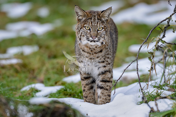 Wild Bobcat (Lynx rufus) along edge of field.  Olympic National Park, WA.  November.  (Completely wild, non-captive cat.)  Several day old snow patches--much has melted off.