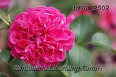 Gisela, FLOWERS, BLUMEN, FLORES, photos+++++,DTGK2502,#f#, EVERYDAY