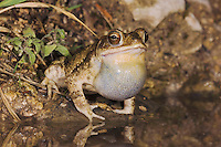 Gulf Coast Toad, Bufo valliceps, male at night calling in spring fed pond, Uvalde County, Hill Country, Texas, USA, April 2006