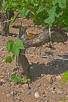 """A vine growing from the root stock part of a grafted cabernet vine. This young vine branch grows from the underground American root half of the vine which carries the European fruit carrying upper part of the old grafted vine. This vine is """"parasitic"""" and has to be removed.  Chateau Kirwan, Cantenac  Margaux  Medoc  Bordeaux Gironde Aquitaine France"""