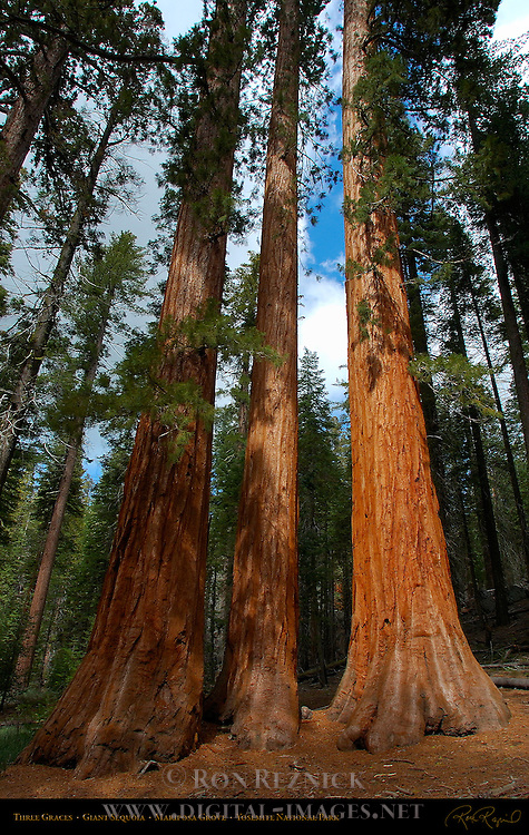 Three Graces, Giant Sequoia, Sequoiadendron giganteum, Mariposa Grove of Giant Sequoias, Yosemite National Park